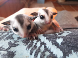 WF Sugar Glider Joeys (available at 8-10 weeks