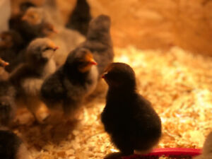 Chicks, pullets and cockerels for sale