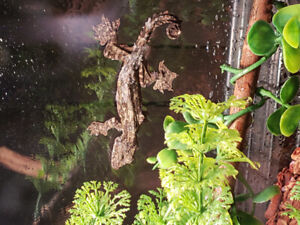 Flying geckos available at The Extreme Aquarium in Sarnia