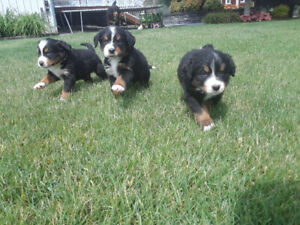 Bernese Mountain cross Puppies