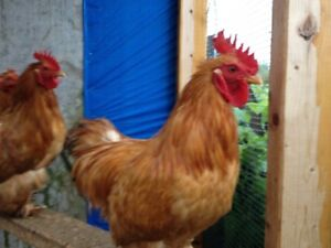 Bantam Cochin Roosters For Sale, Chickens, trade for laying hen