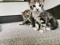 Bengal x kittens ad will be deleted once rehomed
