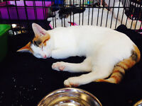 KITTEN ADOPTION FRIDAY JUL. 31ST 2 - 6 PM PET VALU TEC. RD WEST