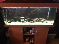 Chiclid tropheus full set up including tank and everything you need