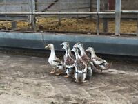 Appleyard Ducks