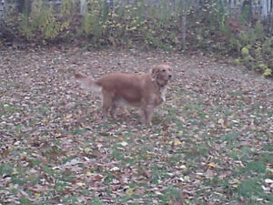 Looking for a male Golden retriever about 3-4yrs old