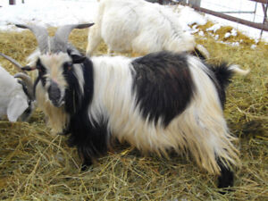 Long Haired Goat Buck For Sale