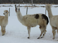 Guard Llama for sale