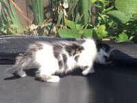 Beautiful black grey and white female kitten