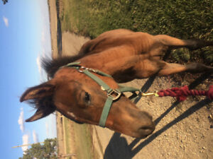 3/4 Andalusian weanling filly