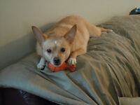 Sammy - Chihuahua terrier mix