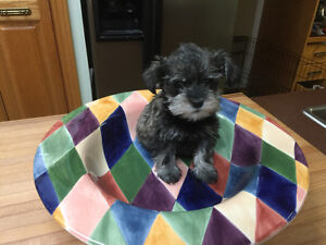 Miniature Schnauzers Regs!     Teacup size only left!!!