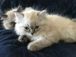 doll faced Persian kittens for sale to good home