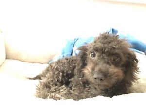 4 Month Old Toy Poodle URGENT, MUST BE SOLD BEFORE 6PM