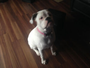 Old English Bulldogge for sale to GOOD home