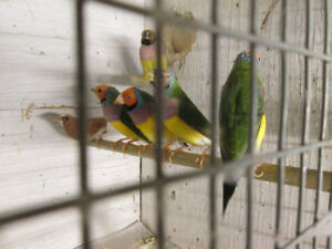 Gouldian finches for sale. Call Joe at 519-758-9520. $55.00 each