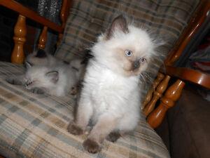 Male Ragdoll/himalayan kittens for Sale Peterborough Peterborough Area image 7