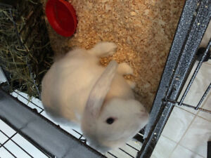 White holland lop bunny