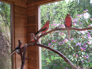 Rosy Bourke Parakeets