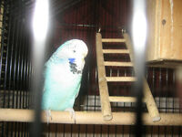 3 beautiful English budgies for sale OR TRADE