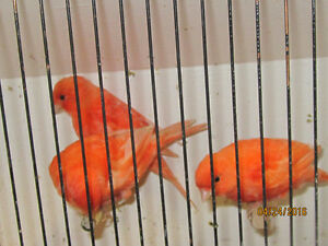 Red Factor canaries. London Ontario image 3