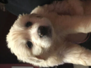 Ready for Valentines  - Great Pyrenees Puppies