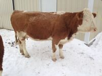 3 yr old Purebred Simmental cow