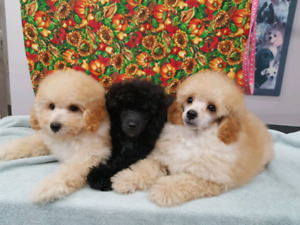 CKC Reg'd PUREBRED TOY POODLE PUPPIES AVAILABLE NOW
