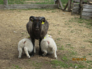 Icelandic lambs, wool and meat
