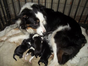 CBCA registered Border Collie Puppies