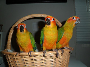 Handfed Peachfaced Lovebird and Sun Conure Babies For PETS Only!