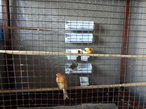 Canaries +cages