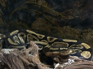 5 Year old Breeding Female Ball Python Free to Good Home