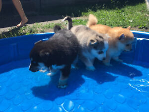 F2 male Pomsky puppies available for adoption
