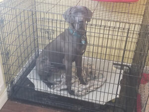 1 year old blue great dane needs active ,loving home