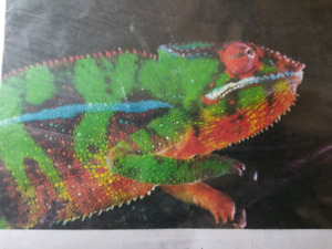 Panthere cameleon very very nice colors