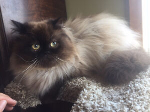 Himalayan x Persian Male