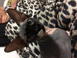 Beautiful pure breed sphynx