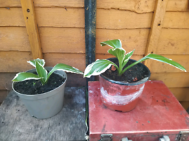 Albo Marginata Hosta plant - £4 per pot