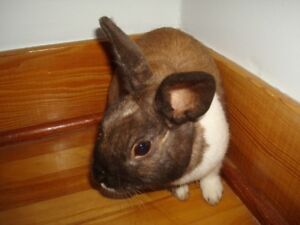Peanuts - Male Dwarf Bunny Looking For a Forever Home