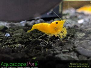 Yellow Shrimp (Neocaridina) For Sale