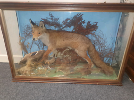 Old taxidermy fox and duck in an old Victorian glass case £330