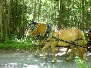 Cheval et attelage à vendre : Span Haflinger