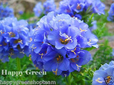 JACOBS LADDER - 300 SEEDS - Polemonium Caeruleum - Perennial Flower segunda mano  Embacar hacia Spain