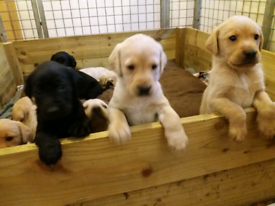 Labrador | Dogs & Puppies for Sale - Gumtree