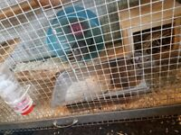 2 female degu with cage, bath and food