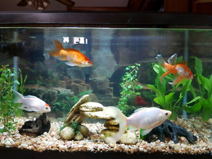 Goldfish for rehoming