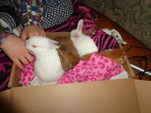 Beautiful Baby bunnies ready for adoption Peterborough Peterborough Area image 2