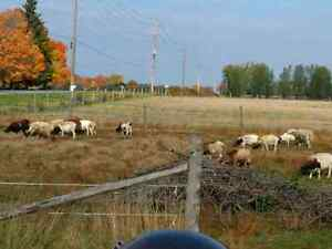 """Dorper ewes """"going to the sale barn 31st"""""""