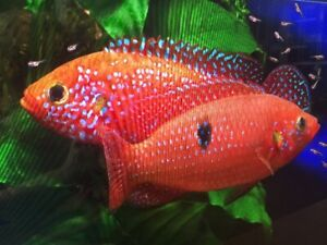 GROUP OF 4 AFRICAN CICHLIDS BLOOD RED JEWELS ($20 )